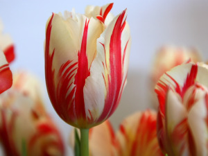 This tulip resembles the Semper Augustus, once one of the most valuable objects in the world.